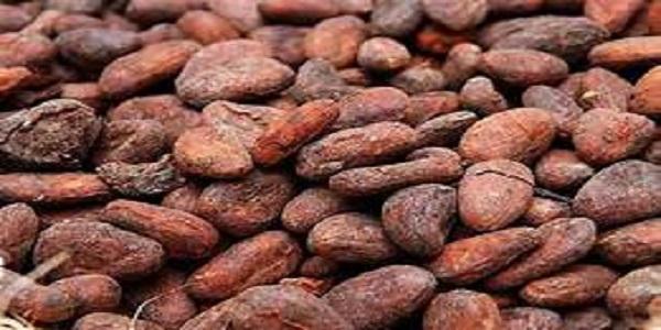فروش عمده دانه کاکائو