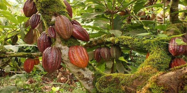 واردات دانه خام کاکائو به صورت مستقیم